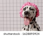 Cute Dalmatian Dog In Pink Bath ...