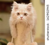 Stock photo little fluffy persian kitten playing on the cat scratching posts 162902945
