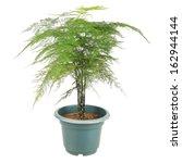 Asparagus Fern Is A Perennial...
