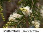 Mogo Australia  Pale Yellow...