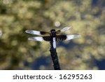 Small photo of Widow Skimmer Dragonfly (Libellula luctuosa) at the Amana, Iowa, Lily Lake