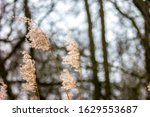 Seed Plumes Of Reed Against...