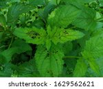 Top View Of Green Leaves With...