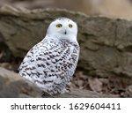Snowy Owl  Bubo Scandiacus ...