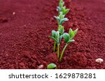 Soy Bean Sprouts On Red Dirt....