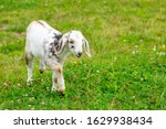 Small photo of Baby Goad with Horns walking on Grass.
