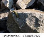 Tailless Lizard Of Green And...