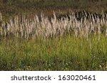 tops of dry grass brighten by...   Shutterstock . vector #163020461