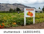 PEACHES agriculture sign with two fresh peach fruits symbol, farm workers on the fields in the background, Okanagan Valley, British Columbia, Canada