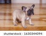 French Bulldog Puppies Standin...