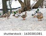Group Of Wild Ducks Near The...