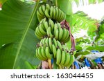 Banana Growing On Tree
