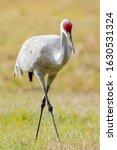 Sandhill Crane Walking In A...