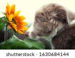 Dog sunflower border collie pet ...