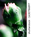 macro close up of the bud of... | Shutterstock . vector #1630786897