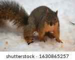 The Fox Squirrel  Also Known A...