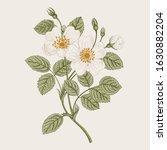 rose hip. wild white rose.... | Shutterstock .eps vector #1630882204
