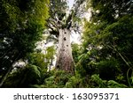 Tane Mahuta  Big Kauri Tree ...