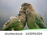 Kea\'s  Alpine Parrots  Sitting...