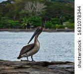 Dark Brown Haired Pelican...