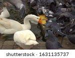 White Geese Eat Yellow Grain...