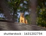 Red Squirrel On Roof  They Are...