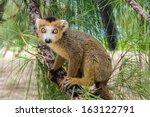 Crowned Lemur  Eulemur...
