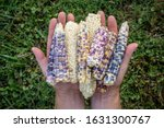 Glass Gem Corn In Hands From...
