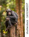 Nature Portrait Of Chimpanzees...