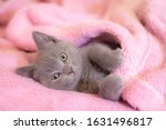 A British Kitten Sleeps On A...