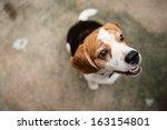 beagle dogs | Shutterstock . vector #163154801