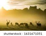 Red Deer Herd In Misty Sunrise...