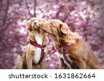 Two Dogs Kiss Eachother. Nova...