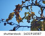 Yellow Leaves And Fruit On...
