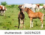 Two Young Foals Playing On A...