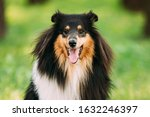 Tricolor Rough Collie  Scottis...