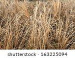 Autumn Dry Grass Sedge