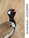 Small photo of Male white-quilled Bustard (Afrotis afraoides), Kalahari desert, South Africa