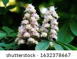 Aesculus Hippocastanum...