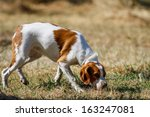 Brittany Spaniel  Young Hunting ...