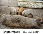 Large Red Pig Of Duroc Breed...