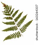 Common Bracken