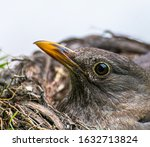 Female Blackbird  Turdus Merul...