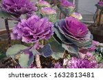 Colorful Ornamental Cabbage In...