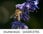 Honey Bee Pollinating Purple...