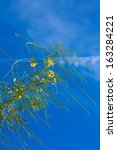 Small photo of yellow flowers of Parkinsonia aculeata against blue sky