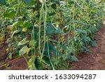 Fresh Yard Long Beans Bean In...