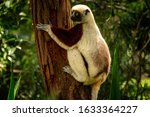 Coquerel\'s Sifaka  Propithecus...