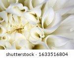 Extreme Closeup Of White Dahlia ...