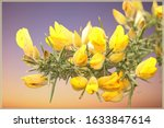 Detail Of Gorse Yellow Flower...